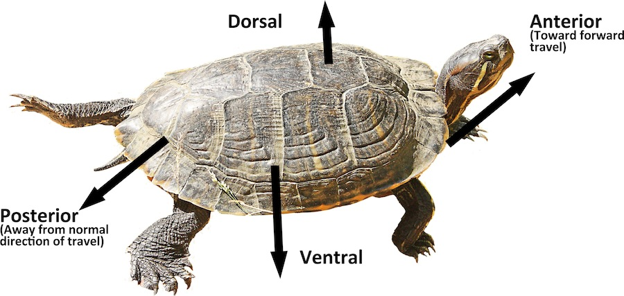 Side view of a turtle with the anatomical directions labeled - http://www.sxc.hu/photo/1198861